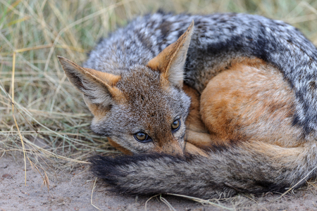 wildanimal: Jackal asleep by the wayside