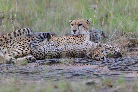 wildanimal: cheetah in the Masai Mara to foray