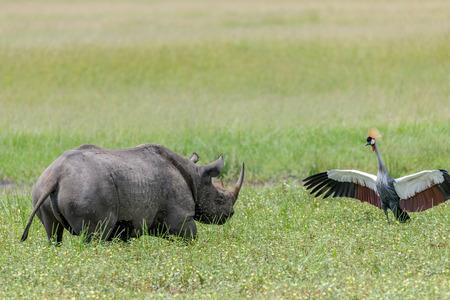 wildanimal: Rhino in the Masai Mara Kenya Stock Photo