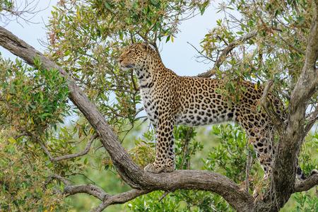 wildanimal: Leopard in the Masai Mara