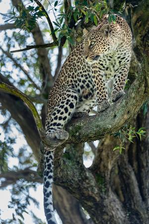 masai mara: Leopard in the Masai Mara