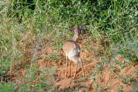 wildanimal: Dikdik in the Masai Mara Kenya