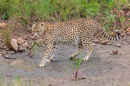 wildanimal: cheetah in the Masai Mara to foray kenya