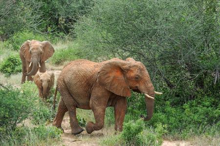 wildanimal: big Elephant in the savannah of Africa Stock Photo