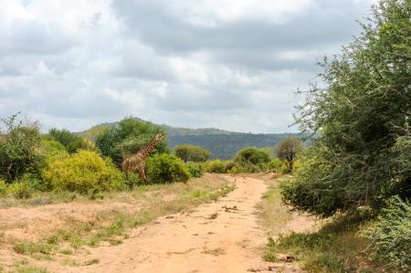 masai mara: giraffe in the Masai Mara