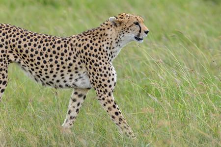 masai mara: cheetah in the Masai Mara Kenya Africa Stock Photo