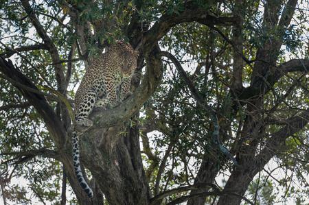 wildanimal: Leopard in the Masai Mara Kenya Africa Stock Photo
