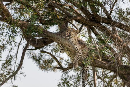 the mara: Leopard in the Masai Mara Kenya Africa Stock Photo