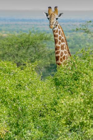 masai mara: giraffe in the Masai Mara Kenya Africa Stock Photo