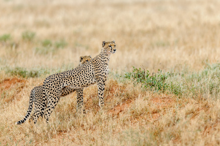 wildanimal: cheetah in the Masai Mara Kenya Africa Stock Photo