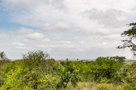 wildanimal: giraffe in the Masai Mara Kenya