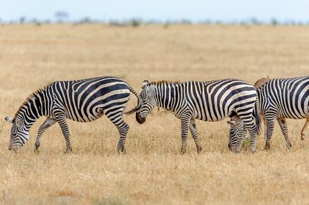 wildanimal: herd of Zebra in the savannah of Africa