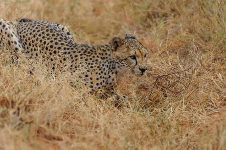 the mara: cheetah in the Masai Mara to foray
