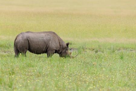 wildanimal: Rhino