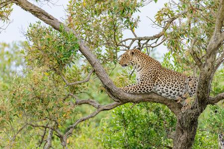 the mara: Leopard in the Masai Mara
