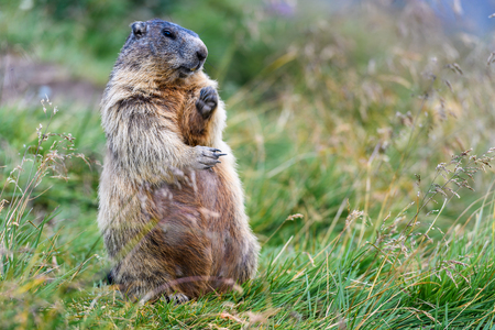 groundhog in the alps by Austria
