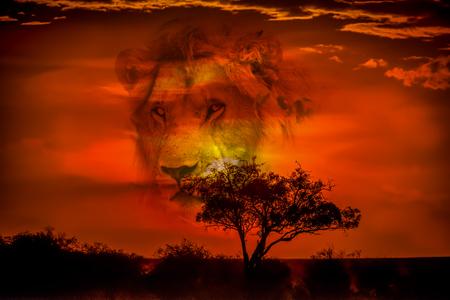 Leeuw in de savanne van Afrika