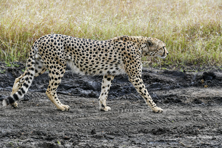 cheetah in the Masai Mara to foray Africa