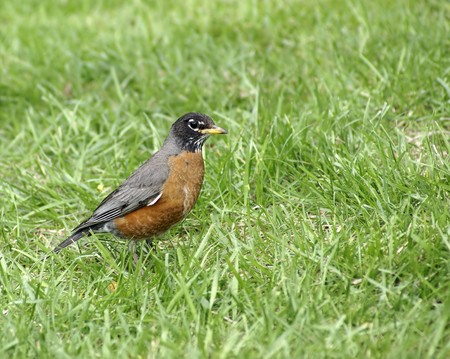 facing right: american robin facing right Stock Photo
