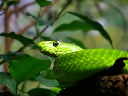 green mamba coiled in tree