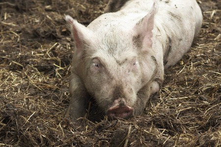 Pink Pig in Straw and Mud photo