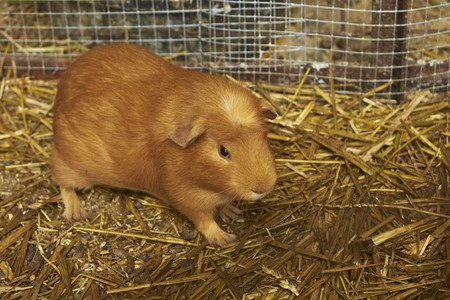 Large Guinea Pig on Straw