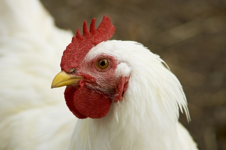 Lornghorn Rooster Portrait
