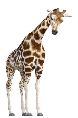 Giraffe isolated on white. 3d render