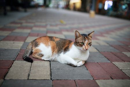 puss: adorable Calico cat lying on the street , calico,paw, puss, feline, striped Stock Photo