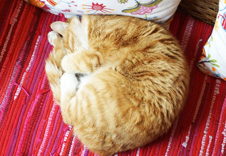 brown short hair cat sleep sweet like a funny ball  roll up in cafe, hiding face photo