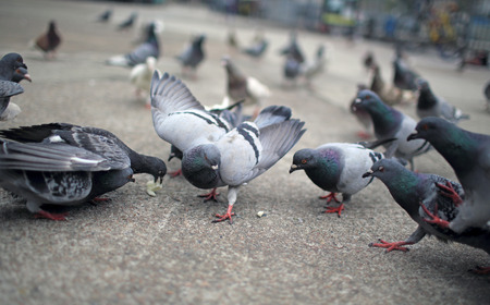 food fight: Pigeons fight for food Stock Photo