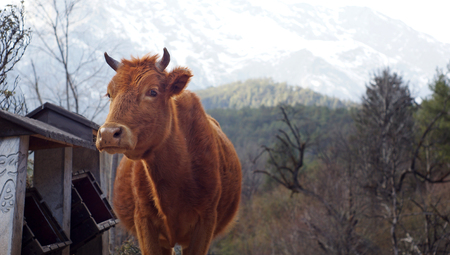 alp: cow in the mountain finding food on Mount Yunlong