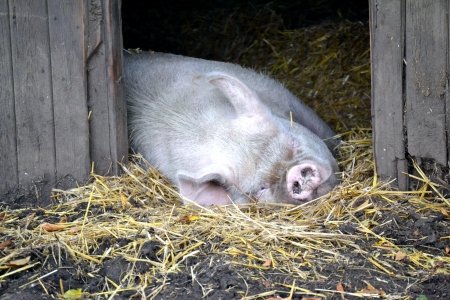 Pig tired