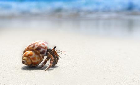 blue crab: hermit crab