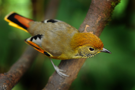 yellow tailed: Chestnut-tailed minla bird live on Doi Inthanon,Chiengmai,Thailand Stock Photo