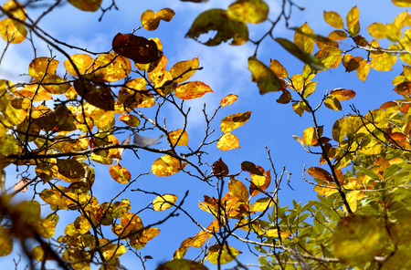chiangmai: winter leafs and sky at chiangmai thailand