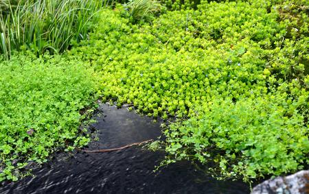 freshwater aquarium plants: natural fresh aquatic plant of home garden