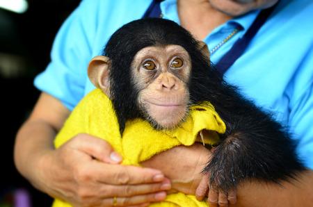 chimpances: chimpancé bebé con la mama humana en el amor y el zoológico humano cerrado como bebé humano Foto de archivo