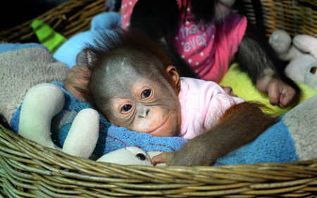 pongo: young baby of Orangutan sleeping at the zoo in Thailand
