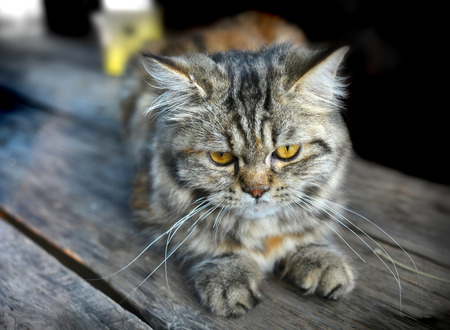 maine cat: feeling of baby maine coon cat in