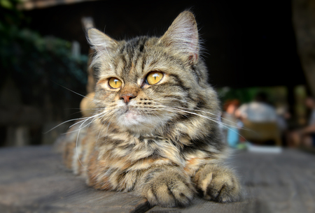 maine coon: feeling of baby maine coon cat in