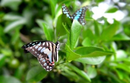 green jay: La mariposa común de Jay en las hojas verdes en nublado al aire libre y la iluminación de lluvias.