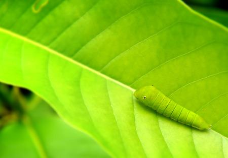 green jay: La hoja verde y pequeño gusano verde de la mariposa común de Jay en el marco con el espacio para el texto en la nublada al aire libre y la iluminación de lluvias.