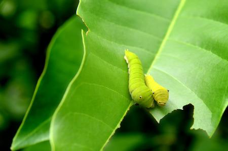 green jay: La hoja verde y peque�o gusano verde de la mariposa com�n de Jay en el marco con el espacio para el texto en la nublada al aire libre y la iluminaci�n de lluvias.