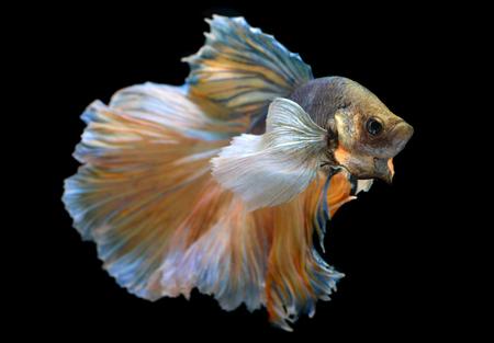dragon swim: Colorful  waver of Betta Saimese fighting fish  beauty and freedom in black background photo with studio flash lighting. Stock Photo