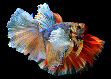 dragon swim: Betta fish in freedom action and show the beautiful fins tail photo in flash lighting.