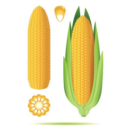 Conjunto de mazorcas de maíz maduras aisladas sobre fondo blanco. Ilustración del vector.