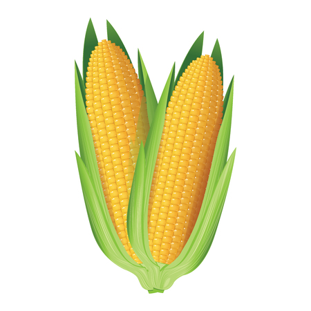 Corn. Two whole corn cobs. Vector illustration.