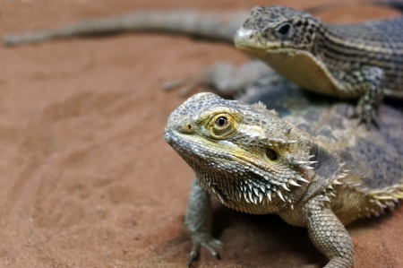 A pair of lizards in the sand                     Stock Photo