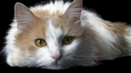 Home cat white on black background                     Stock Photo - 14371669